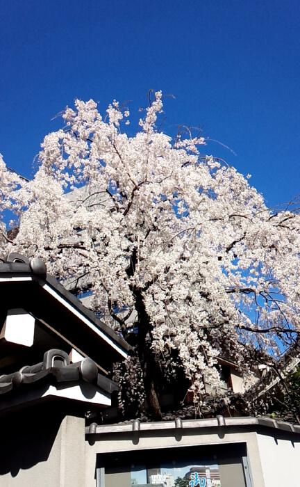東京都港区の芝大門の近くの桜